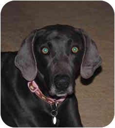 Weimaraner Dog for adoption in Marietta, Georgia - Ginger-Pending