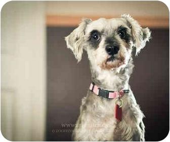 Schnauzer (Miniature) Mix Dog for adoption in Ile-Perrot, Quebec - CONSTANTINE