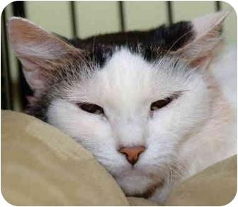 Domestic Mediumhair Cat for adoption in Brooklyn, New York - Statler