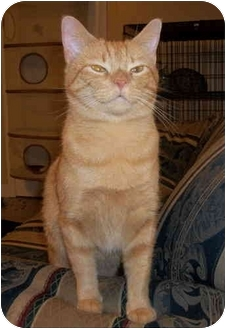 Domestic Shorthair Cat for adoption in Chattanooga, Tennessee - Merriweather