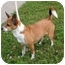 Photo 2 - Chihuahua/Corgi Mix Dog for adoption in Rigaud, Quebec - Lizzie