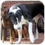 Photo 2 - Great Dane Dog for adoption in York, Pennsylvania - Cipro