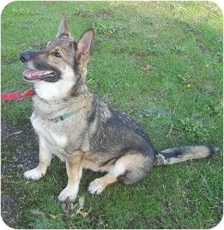 German Shepherd Dog Mix Dog for adoption in Grants Pass, Oregon - Tundra