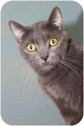 Domestic Shorthair Cat for adoption in North Branford, Connecticut - Little One
