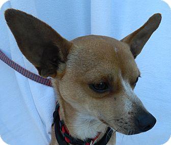 Chihuahua/Chihuahua Mix Dog for adoption in Umatilla, Florida - Ray