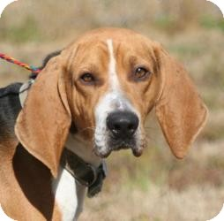 Coonhound Mix Dog for adoption in Ponderay, Idaho - Rivet
