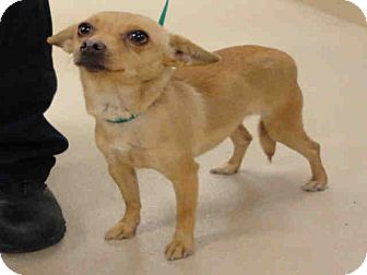 Chihuahua Dog for adoption in Ogden, Utah - Peach
