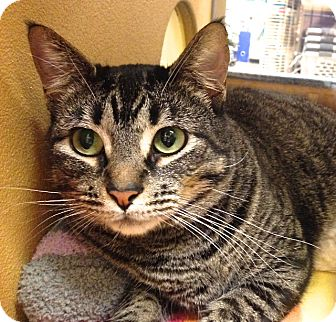 Domestic Shorthair Cat for adoption in Foothill Ranch, California - Raja