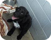 Australian Shepherd/Newfoundland Mix Dog for adoption in Silver City, New Mexico - Sully