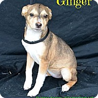 Adopt A Pet :: Ginger - Plano, TX