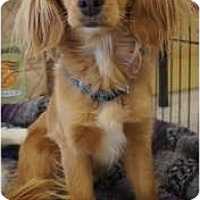 Adopt A Pet :: Little Lady - Toluca Lake, CA