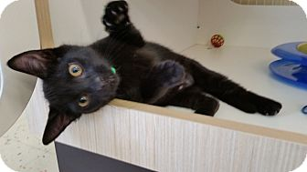 Domestic Shorthair Kitten for adoption in Phoenix, Arizona - Link