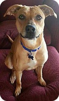 Labrador Retriever Mix Dog for adoption in Toledo, Ohio - Honey
