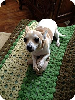 Chihuahua Puppy for adoption in Richmond, Virginia - Sparky