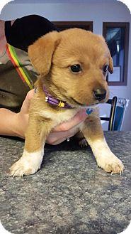 Shepherd (Unknown Type)/Labrador Retriever Mix Puppy for adoption in Laingsburg, Michigan - Sadie