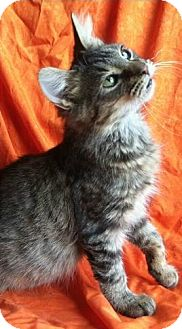 Maine Coon Cat for adoption in Hillside, Illinois - Wally