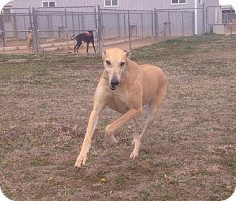 Greyhound Dog for adoption in Glastonbury, Connecticut - Flying Rojo