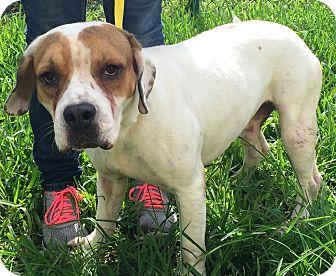 American Bulldog/Basset Hound Mix Dog for adoption in Miami, Florida - Shorty