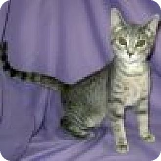 Domestic Shorthair Cat for adoption in Powell, Ohio - Gia