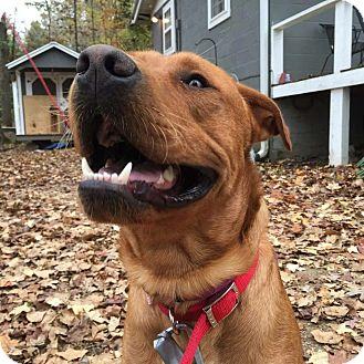 Labrador Retriever Mix Dog for adoption in Lewisville, Indiana - Watson