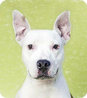 Staffordshire Bull Terrier Mix Dog for adoption in Brooklyn, New York - Margarita