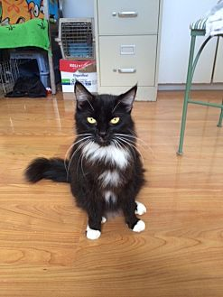 Domestic Mediumhair Cat for adoption in Midway City, California - Lizzy