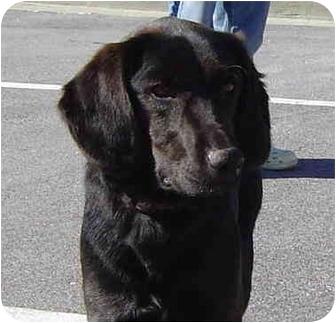 Labrador Retriever/Setter (Unknown Type) Mix Dog for adoption in Montevallo, Alabama - Bailey