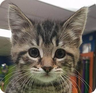 Domestic Shorthair Kitten for adoption in Adrian, Michigan - Lillie