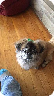 Pekingese Mix Dog for adoption in Chillicothe, Ohio - Willow