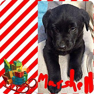 Labrador Retriever/Flat-Coated Retriever Mix Puppy for adoption in Brattleboro, Vermont - MARSHALL AND MAXX