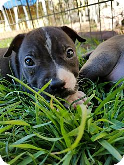 Pit Bull Terrier Puppy for adoption in West Los Angeles, California - Naughty