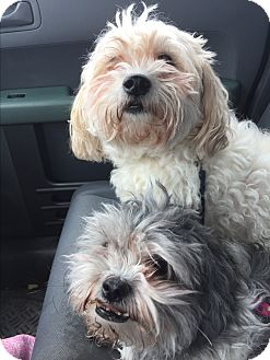 Shih Tzu/Bichon Frise Mix Dog for adoption in Paramus, New Jersey - Bijoux&Bauble