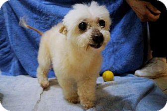 Toy Poodle/Maltese Mix Dog for adoption in Bealeton, Virginia - Leila