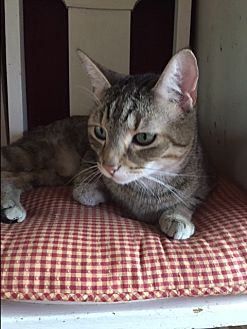 Domestic Shorthair Cat for adoption in Ashland, Ohio - Wall-E