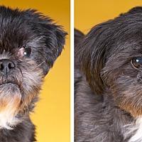 Shih Tzu Dog for adoption in Chicago, Illinois - Cosmo & Gizmo