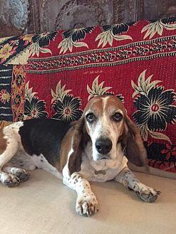 Basset Hound Dog for adoption in Folsom, Louisiana - Buddy