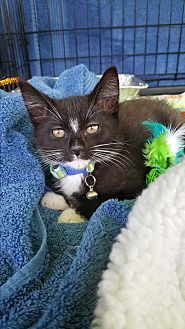 "Domestic Shorthair Kitten for adoption in San Diego, California - KRAM ""See my Video"""