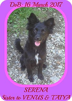 Schipperke/Papillon Mix Puppy for adoption in White River Junction, Vermont - SERENA