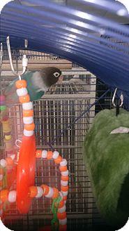 Lovebird for adoption in Villa Park, Illinois - Squeeky