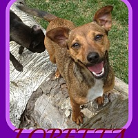 Terrier (Unknown Type, Small)/Chihuahua Mix Dog for adoption in White River Junction, Vermont - LORETTA