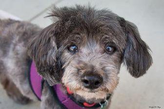 Poodle (Miniature)/Schnauzer (Miniature) Mix Dog for adoption in Baton Rouge, Louisiana - Jacques05162017