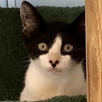 Domestic Shorthair Kitten for adoption in Lancaster, California - Jazmine