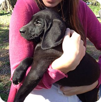 Labrador Retriever/Hound (Unknown Type) Mix Puppy for adoption in Ashland, Virginia - Comet-ADOPTED!!!