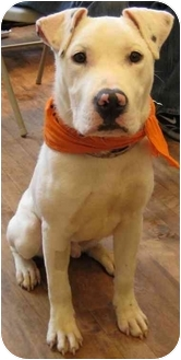 Labrador Retriever/Shepherd (Unknown Type) Mix Puppy for adoption in Chicago, Illinois - Herb
