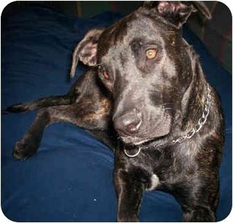 Labrador Retriever/Boxer Mix Dog for adoption in Troy, Michigan - Callie
