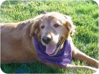 Labrador Retriever Mix Dog for adoption in Evergreen, Colorado - Chelsie