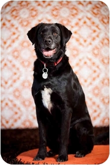 Labrador Retriever Mix Dog for adoption in Portland, Oregon - Stewie
