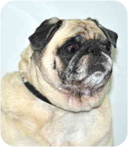 Pug Dog for adoption in Port Washington, New York - Tootsie