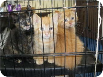 """Domestic Shorthair Kitten for adoption in MARION, Virginia - """"Lobby Cats"""""""