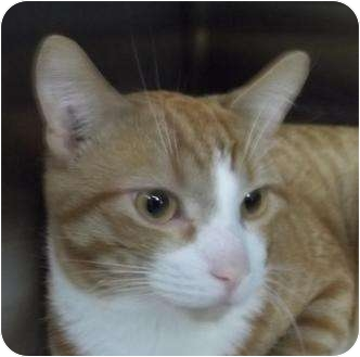 Domestic Shorthair Cat for adoption in Barron, Wisconsin - Tango